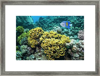 Yellowbar Angelfish Over Lettuce Coral Framed Print by Georgette Douwma