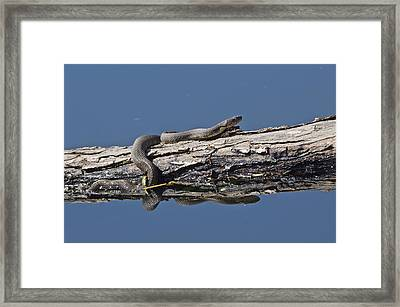 Yellowbelly Water Snake - 8494 Framed Print