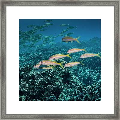 Yellowfin Goatfish  Mulloidichthys Framed Print by Thomas Kline