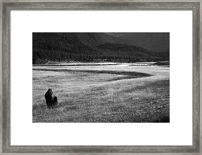Yellowstone Bison Wyoming Framed Print