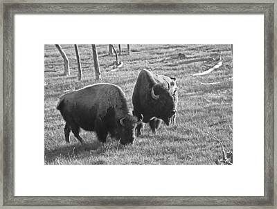 Yellowstone Bison In Late Afternoon Framed Print