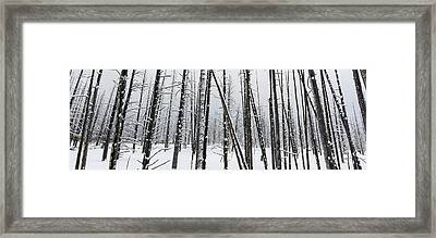 Yellowstone Bobby Sox Trees Framed Print