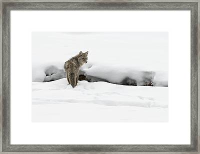 Yellowstone Coyote Framed Print by David Yack
