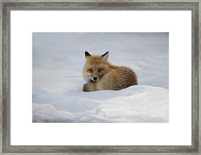 Yellowstone Fox # 2 Framed Print