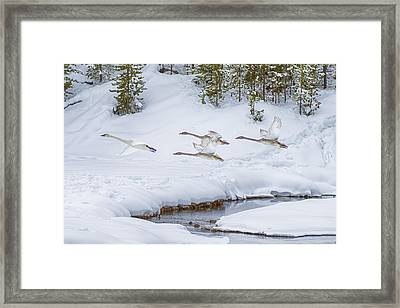 Yellowstone Geese Fly By Framed Print by David Yack