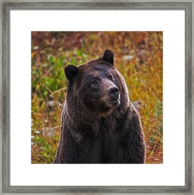 Yellowstone Griz Framed Print by Mark Kiver