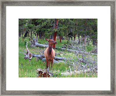 Yellowstone Moments. Doe Framed Print