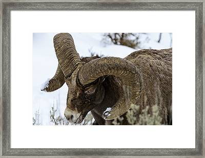 Yellowstone Ram Framed Print by David Yack