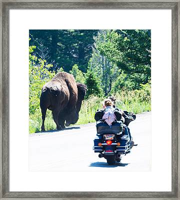 Yellowstone Road Hog Framed Print