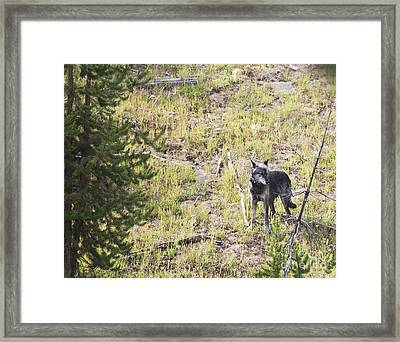 Yellowstone Wolf Framed Print by Belinda Greb