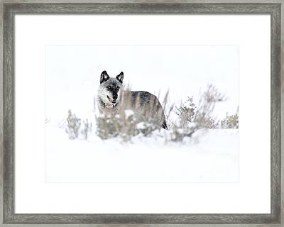 Yellowstone Wolf Framed Print