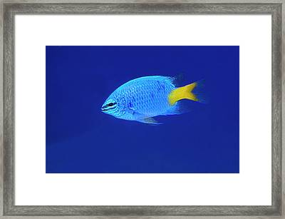 Yellowtail Damselfish Framed Print