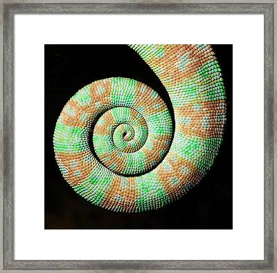 Yemen Or Veiled Chameleon Framed Print