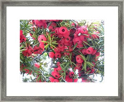 Yewberries Framed Print by Laura Yamada