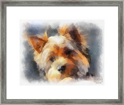 Yorkie Love Framed Print by Barbara R MacPhail