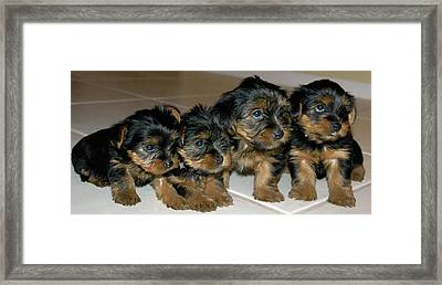 Yorkie Puppies-we're Sorry Framed Print by Geraldine Alexander