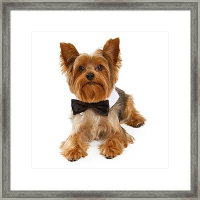 Yorkshire Terrier Dog With Black Tie Framed Print by Susan Schmitz