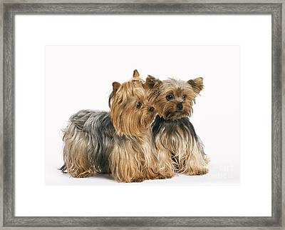 Yorkshire Terrier Dogs Framed Print by Jean-Michel Labat