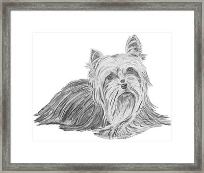 Yorkshire Terrier Drawing Framed Print by Catherine Roberts