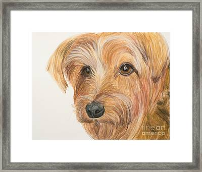 Yorkshire Terrier Face Framed Print by Kate Sumners