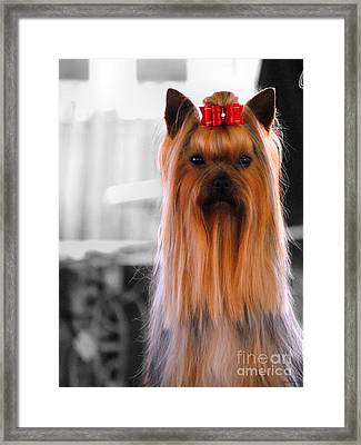 Yorkshire Terrier Framed Print by Jai Johnson