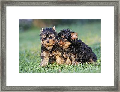 Yorkshire Terrier Puppies Framed Print by M. Watson