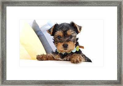 Yorkshire Terrier Puppy Framed Print