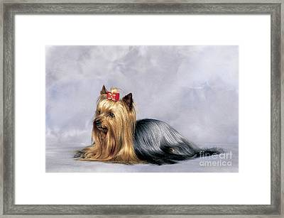 Yorkshire Terrier Framed Print by Tierbild Okapia