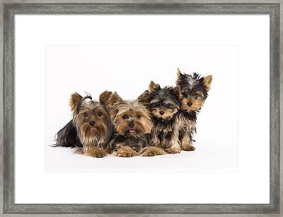 Yorkshire Terriers Framed Print