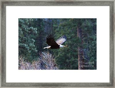 Yosemite Bald Eagle Framed Print