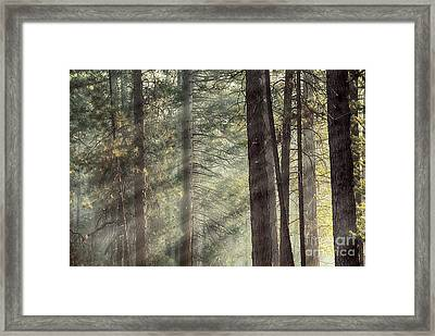 Yosemite Pines In Sunlight Framed Print by Jane Rix