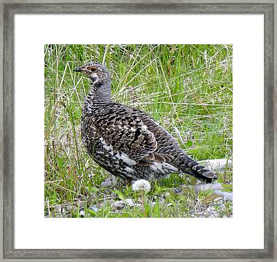 803a Franklin's Grouse - Female Framed Print by NightVisions