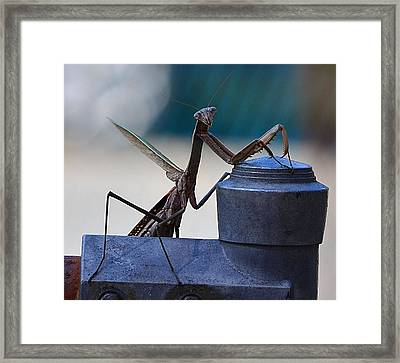 You Looking At Me - Pray Mantis Framed Print