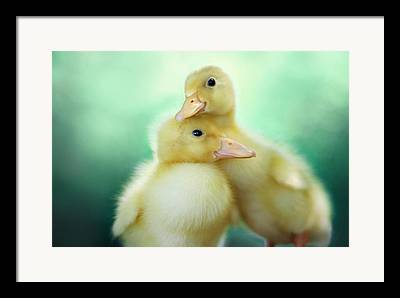 Ducklings Photographs Framed Prints