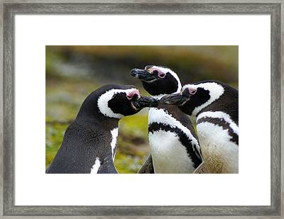 You May Kiss The Bride - Penguins Framed Print by DerekTXFactor Creative