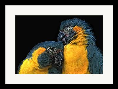 Blue And Gold Macaw Framed Prints
