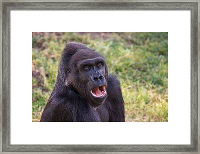 You Talkin' To Me? - Gorilla Chat Framed Print