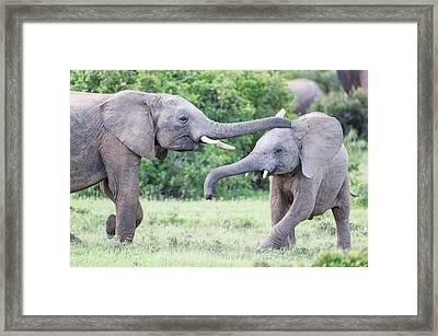 Young African Elephants Playing Framed Print by Peter Chadwick
