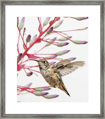 Young Allen's Hummingbird Framed Print by Mike Herdering