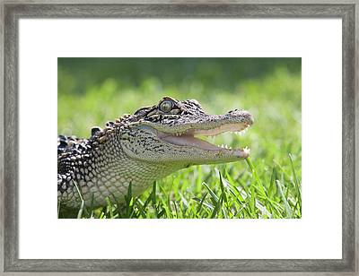 Young Alligator With Mouth Open Framed Print by Piperanne Worcester