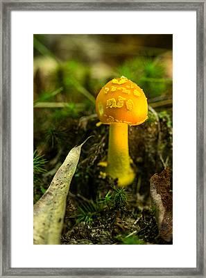 Young Amanita Framed Print by Douglas Barnett