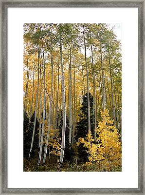Young Aspens Framed Print by Eric Glaser