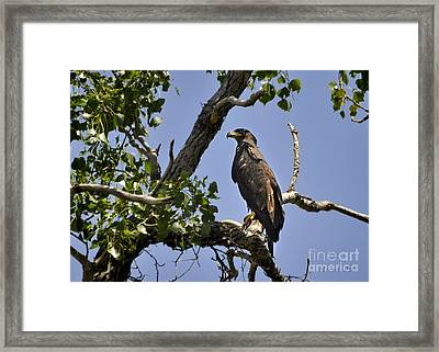 Young Bald Eagle Framed Print by Nava Thompson