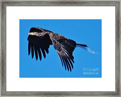 Young Bald Eagle Framed Print