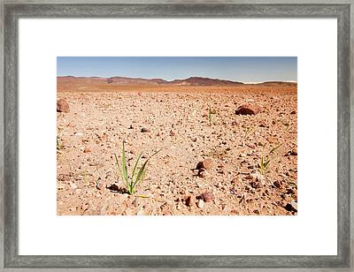 Young Barley Crop Framed Print by Ashley Cooper