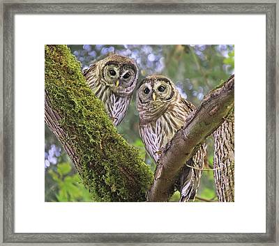 Young Barred Owlets  Framed Print by Jennie Marie Schell