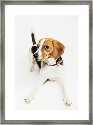 Young Beagle In The Studio Framed Print by Kevin Vandenberghe