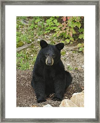 Young Bear 1 Framed Print