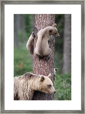 Young Bears Clinging To Tree Framed Print by John Daniels