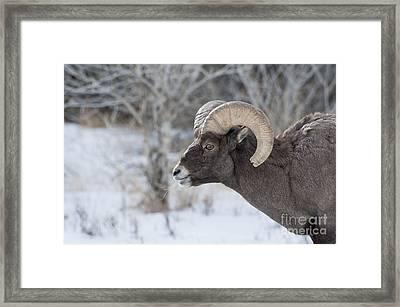Young Big Horn Ram Framed Print by Bob Dowling